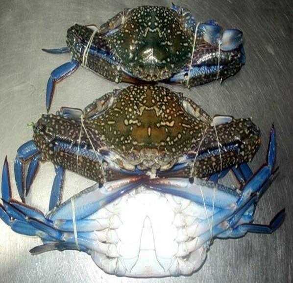 Blue Swimming Crab Pakistan