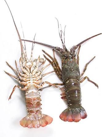 Lobster Pakistan