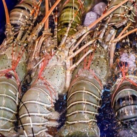Pakistan Lobster