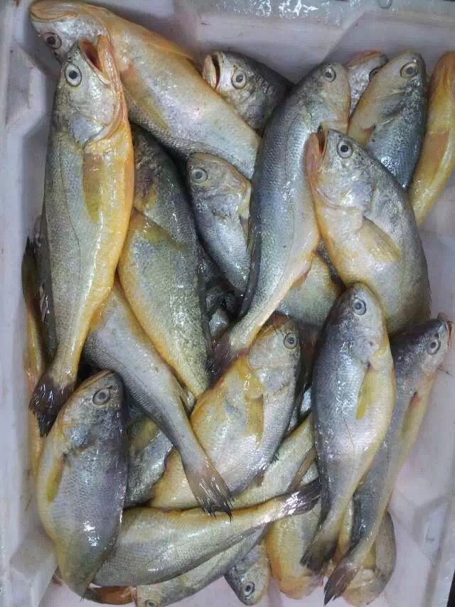 Yellow Croaker Fish Pakistan